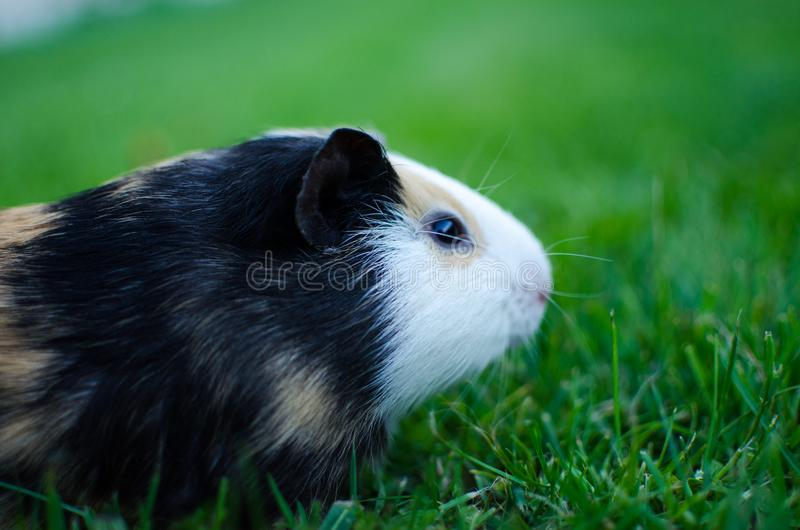 Guinea pig walks in the fresh air and eating royalty free stock photography