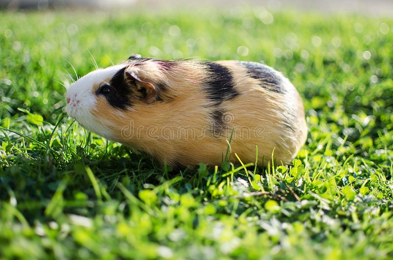 Guinea pig walks in the fresh air and eating stock photography
