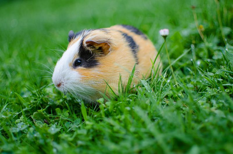 Guinea pig walks in the fresh air and eating royalty free stock image
