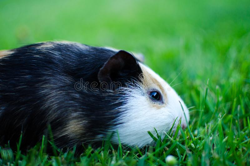 Guinea pig walks in the fresh air and eating stock images