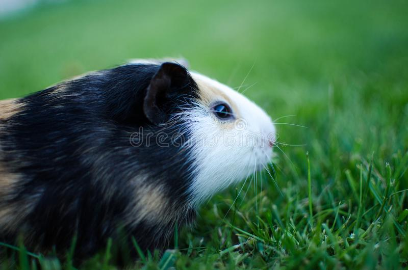 Guinea pig walks in the fresh air and eating stock image