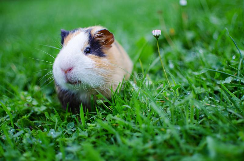 Guinea pig walks in the fresh air and eating stock photo