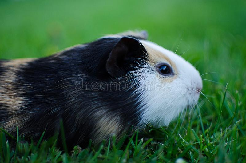 Guinea pig walks in the fresh air and eating royalty free stock photo