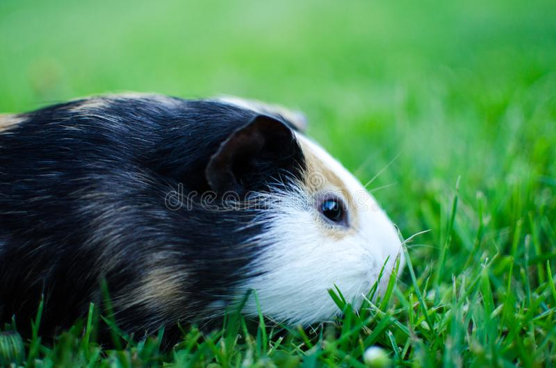 Guinea pig walks in the fresh air and eating royalty free stock photos