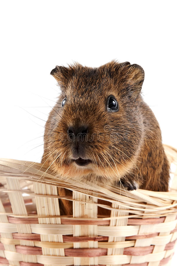 Guinea Pig In A Wattled Basket Stock Photography