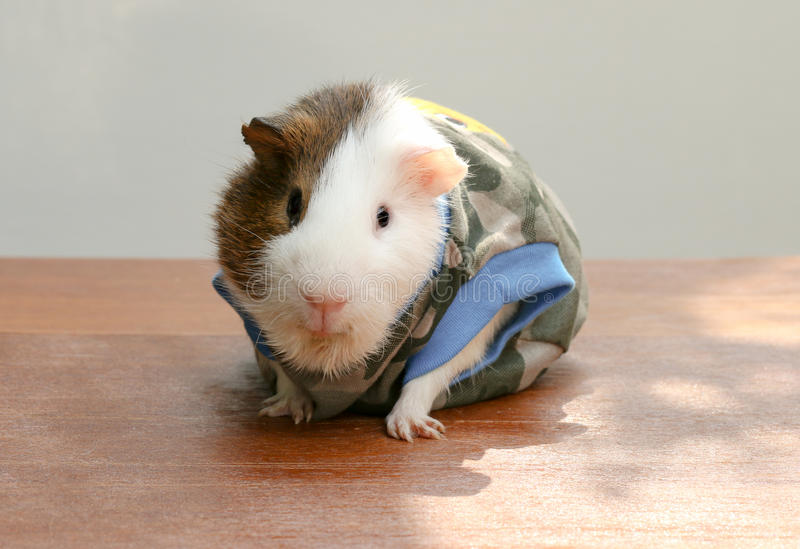 Guinea pig wear clothes and sitting on the desk. Guinea pig wear clothes and sitting on the desk, A popular household pet royalty free stock images