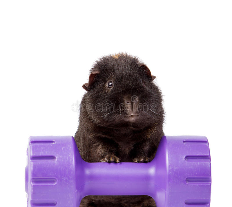 Download GUINEA PIG ON A WEIGHT DUMBBELL ISOLATED ON WHITE Stock Photo - Image of adorable, dumbbell: 39504824