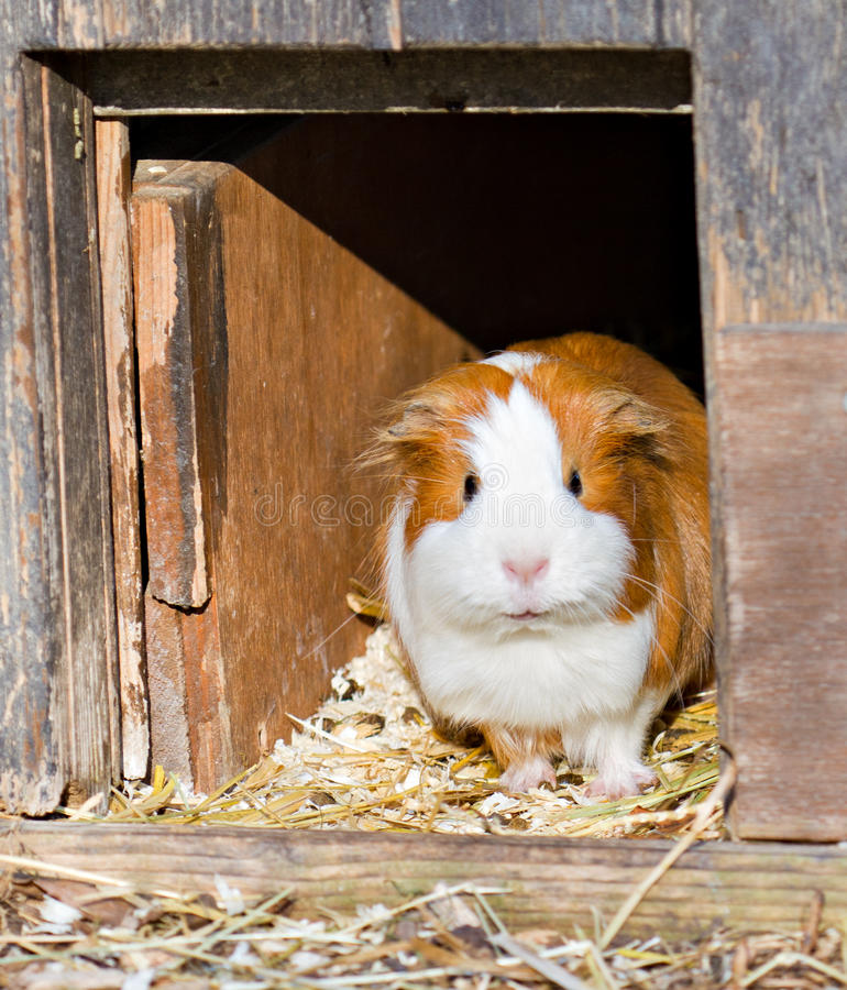 Guinea Pig Welcomes Guests Stock Images