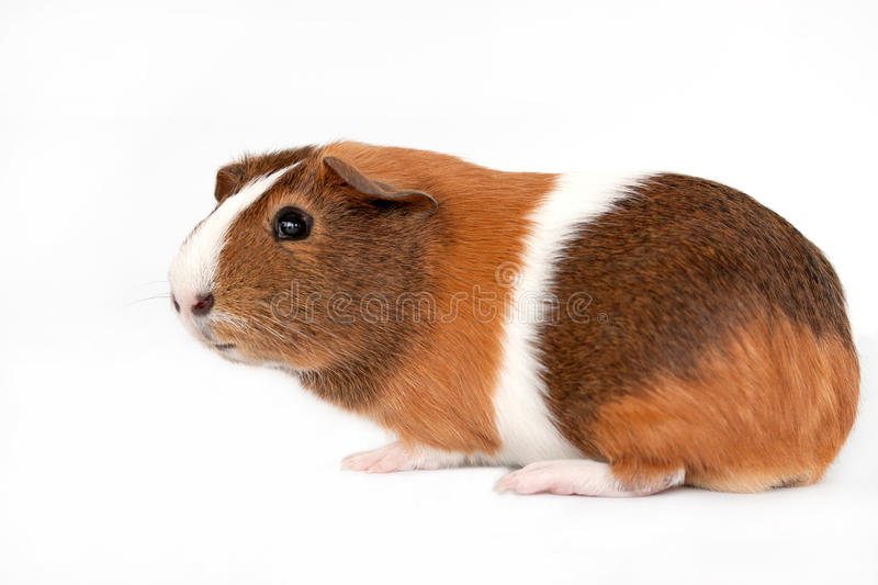 Guinea Pig On A White Background Stock Photo Image Of
