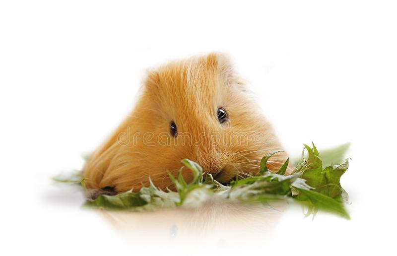 Download Guinea Pig On White Background Stock Image - Image of feeding, animal: 117493021