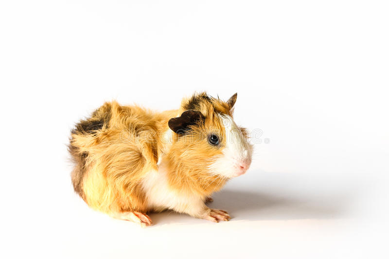 Guinea pig on white background. Guinea pig on white background, A popular household pet stock images
