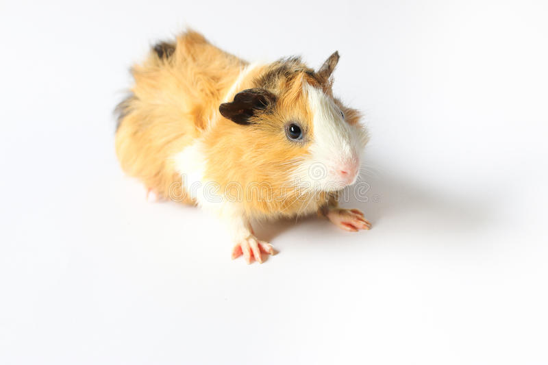 Guinea pig on white background. Guinea pig on white background, A popular household pet royalty free stock image