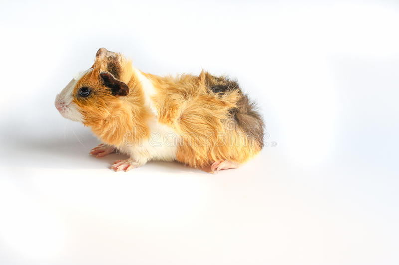 Guinea pig on white background. Guinea pig on white background, A popular household pet stock photography