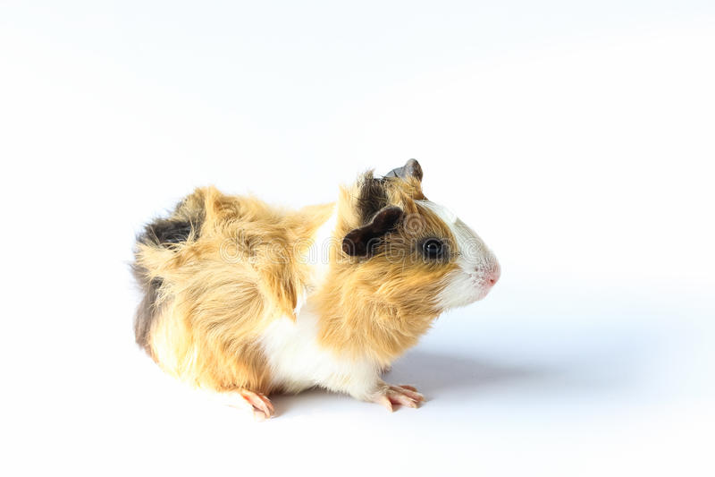 Guinea pig on white background. Guinea pig on white background, A popular household pet royalty free stock photos