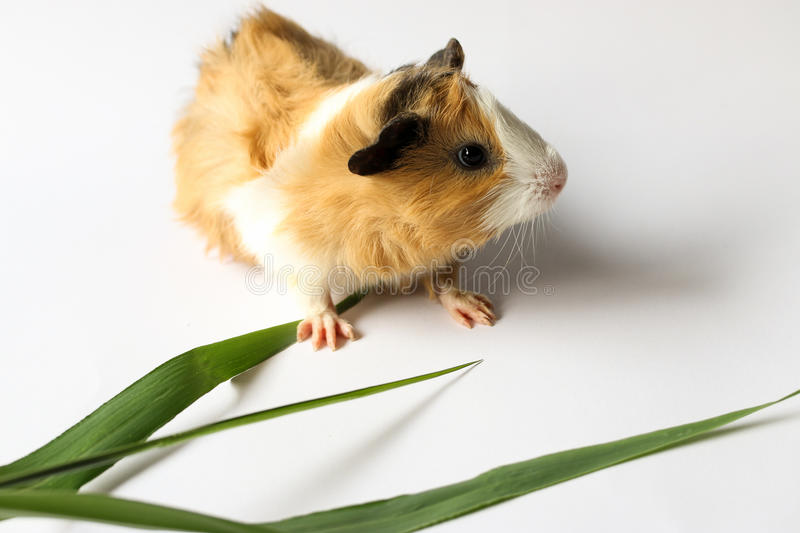 Guinea pig on white background. Guinea pig on white background, A popular household pet royalty free stock images
