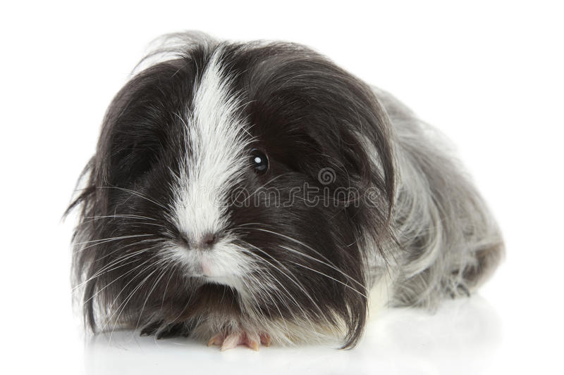 Guinea Pig On White In Studio Royalty Free Stock Images