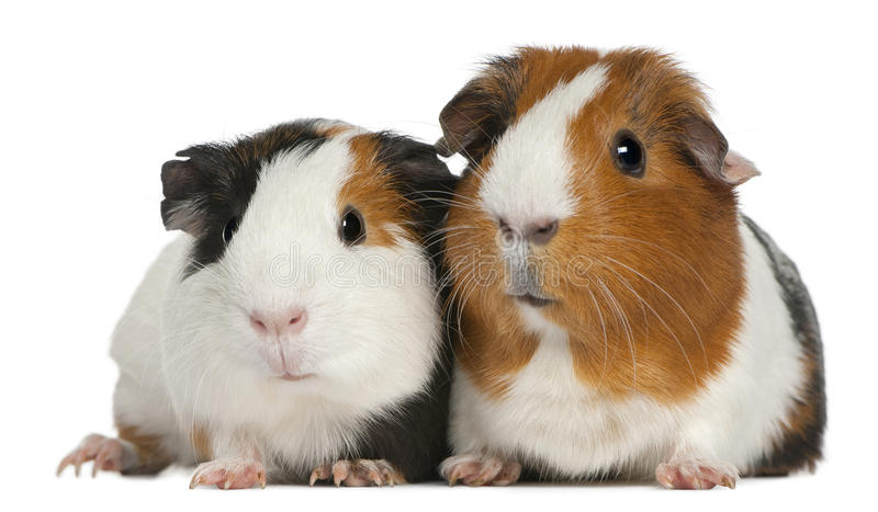 Guinea pigs, 3 years old, lying royalty free stock photos