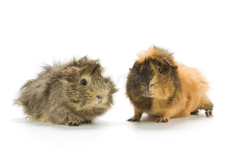 Download Guinea pigs stock image. Image of pigs, brown, whiskers - 4098513