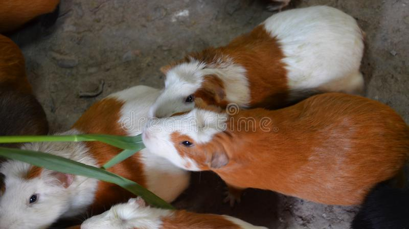 Guinea pigs eating royalty free stock photography