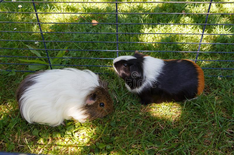 Guinea pigs in grass stock photo