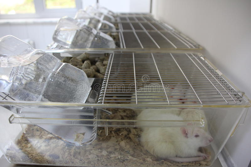 Laboratory rats in cages. Guinea pigs used in lab rats, Guinea Pigs laboratory stock photos