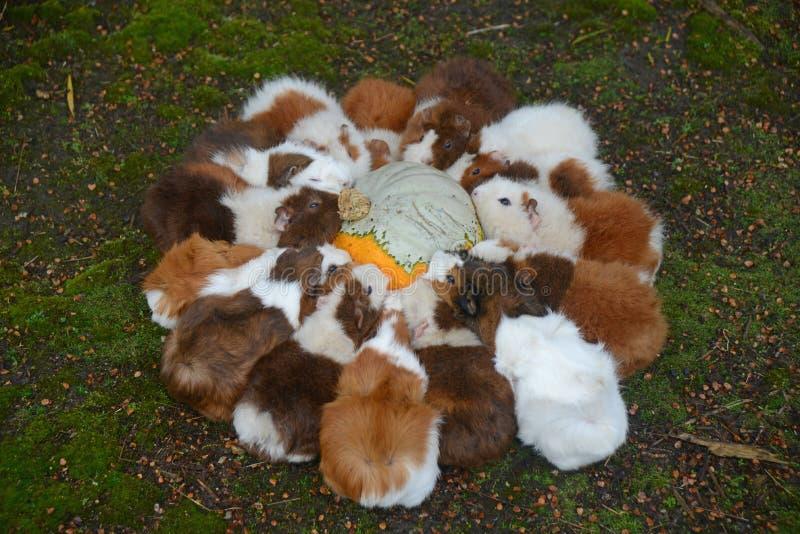 Guinea pigs make short work of a pumpkin. A team of guinea pigs eat a pumpkin stock photography