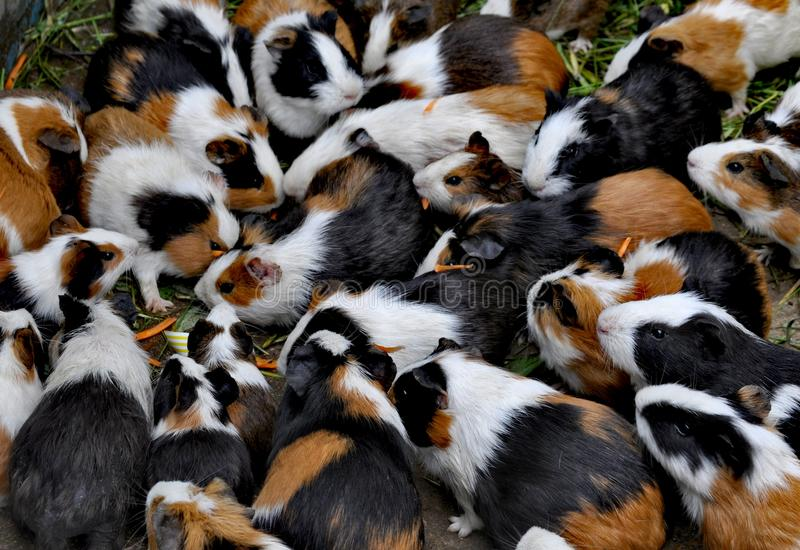 Guinea pigs in Qingdao, China stock images