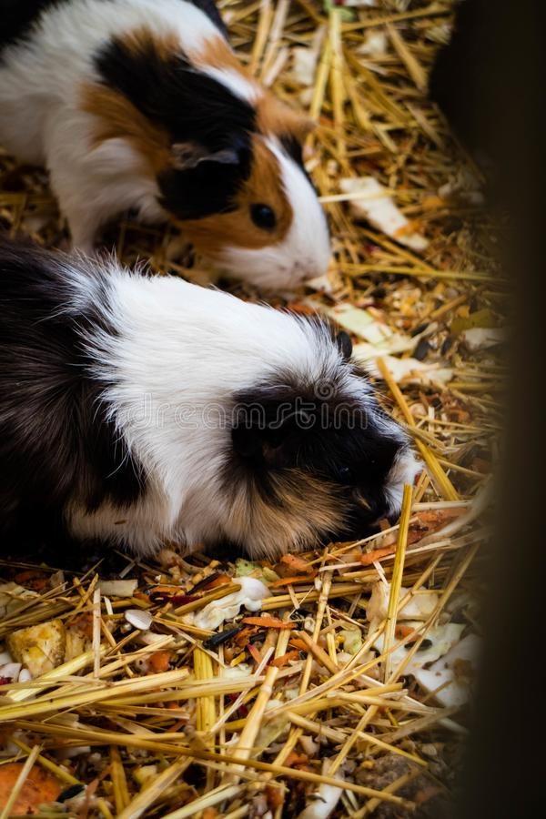 Guinea pigs sniffing the hay for food stock image