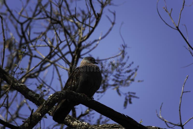 Guinea selvaggia di Columba del piccione selvatico, il Limpopo, Sudafrica immagine stock libera da diritti