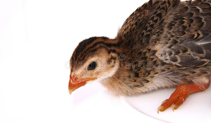 Guineafowl стоковая фотография
