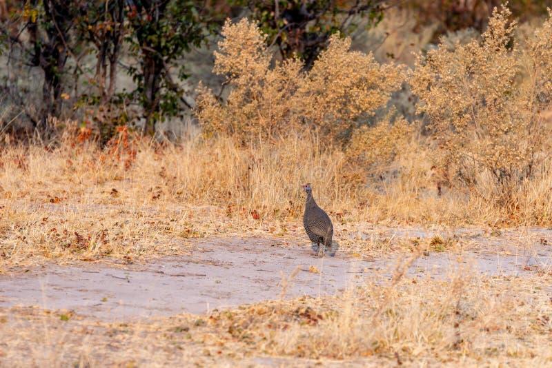 Guineafowl marchant à travers la route au Botswana photographie stock
