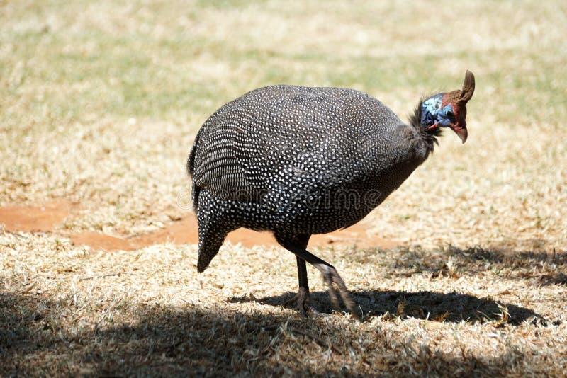 Guineafowl protegido com capacete em Pretoria, África do Sul imagens de stock royalty free