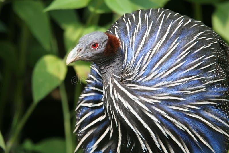 Guineafowl Vulturine immagine stock libera da diritti