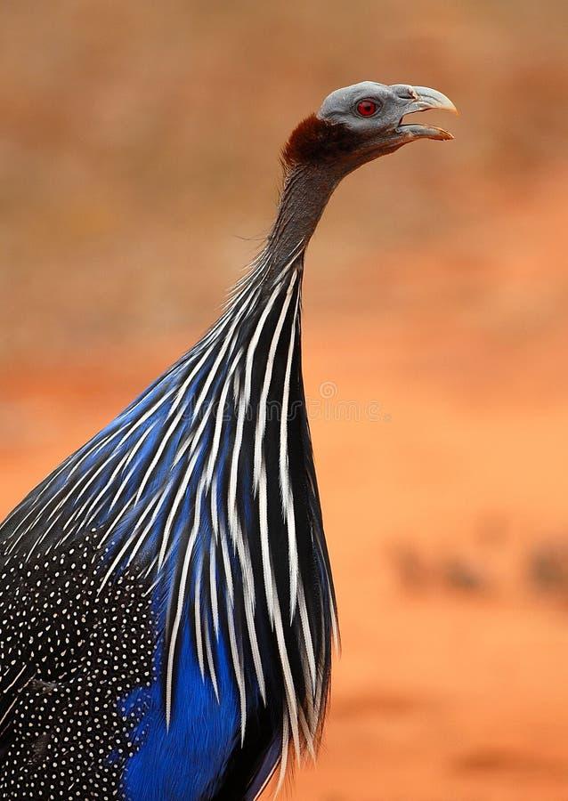 Guineafowl Vulturine fotografia de stock royalty free