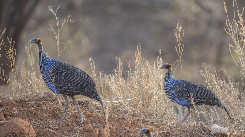 Guineafowls Vulturine nel campo fotografia stock
