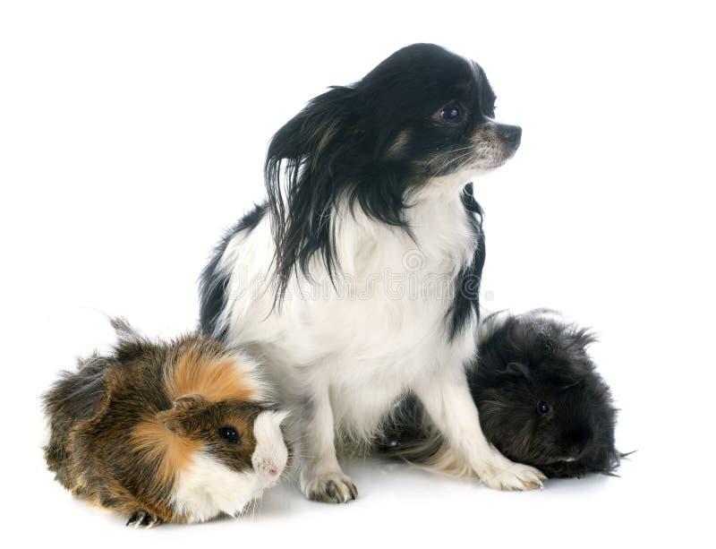 Guineal svin och chihuahua royaltyfri bild