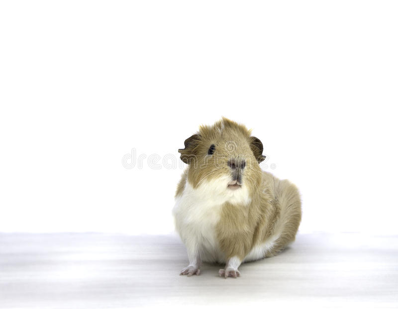 Guineapig stock photography
