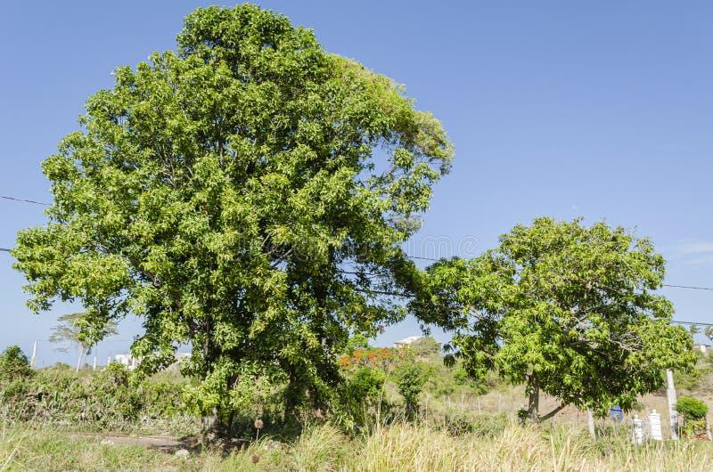 Guinep e árvores de manga imagem de stock