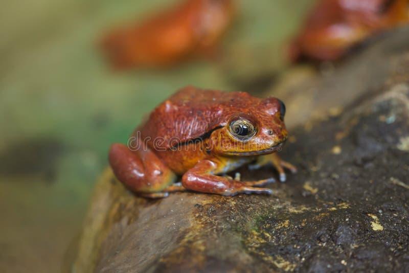 Guineti Dyscophus лягушки томата стоковое изображение rf