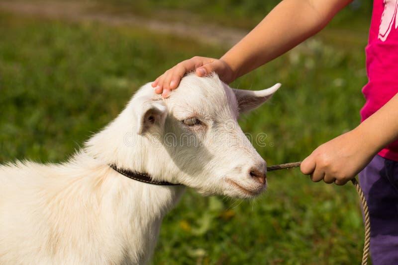 Guinzaglio della tenuta della bambina e capra di segno sul prato immagine stock
