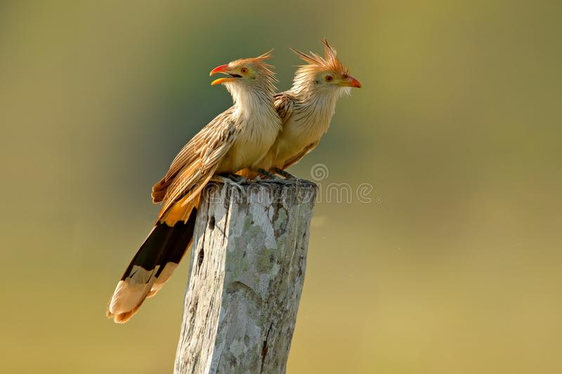 Guira cuckoo pair, Guira guira, in nature habitat, birds sitting in perch, Mato Grosso, Pantanal, Brazil. Cuckoo from Brazil. Hot. Summer in nature stock image