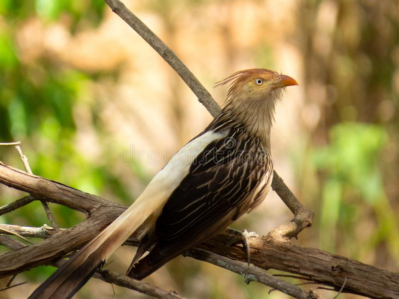 Guira Cuckoo on tree branch photographed in Brazilian Atlantic Rainforest. Bird of Brazil fauna. Guira Cuckoo on Tree Branch Photographed in Brazilian Atlantic royalty free stock images