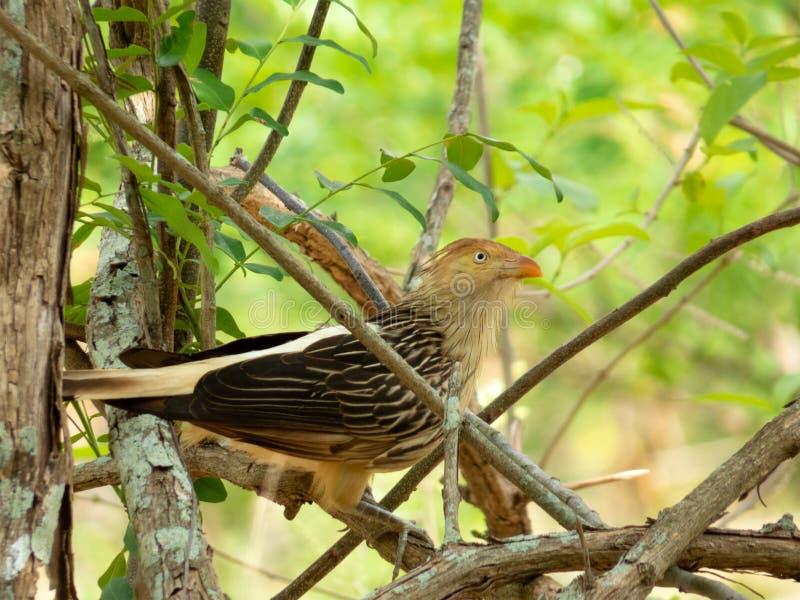 Guira Cuckoo on tree branch photographed in Brazilian Atlantic Rainforest. Bird of Brazil fauna. Guira Cuckoo on Tree Branch Photographed in Brazilian Atlantic stock images