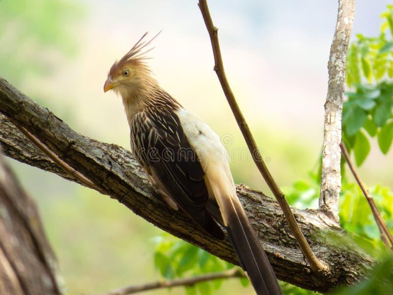 Guira Cuckoo on tree branch photographed in Brazilian Atlantic Rainforest. Bird of Brazil fauna. Guira Cuckoo on Tree Branch Photographed in Brazilian Atlantic royalty free stock image