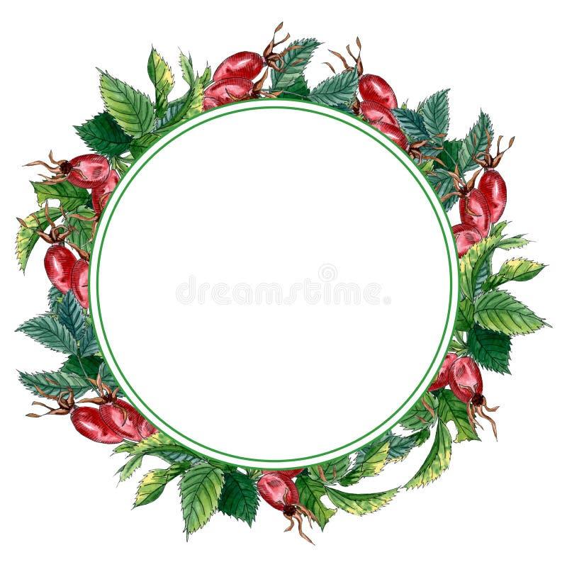Guirnalda con las hojas y las frutas verdes de la perro-rosa, marco exhausto de la acuarela de la mano aislado en wthite Guirnald libre illustration