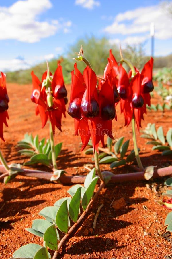 Guisante de desierto de Sturt. Territorio del Norte Australia imagenes de archivo