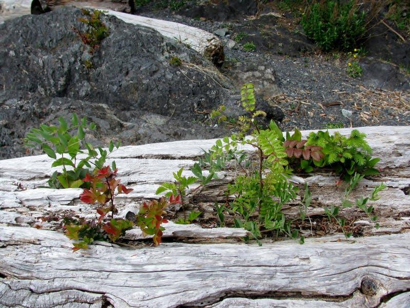 Guisante de mar, poco árbol de abeto y otras plantas creciendo en una madera en la playa foto de archivo libre de regalías