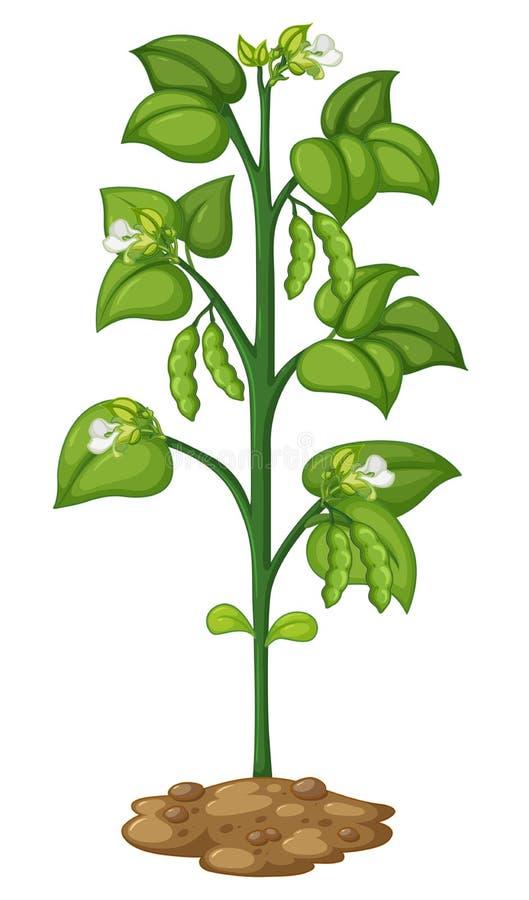Guisante verde en la planta stock de ilustración
