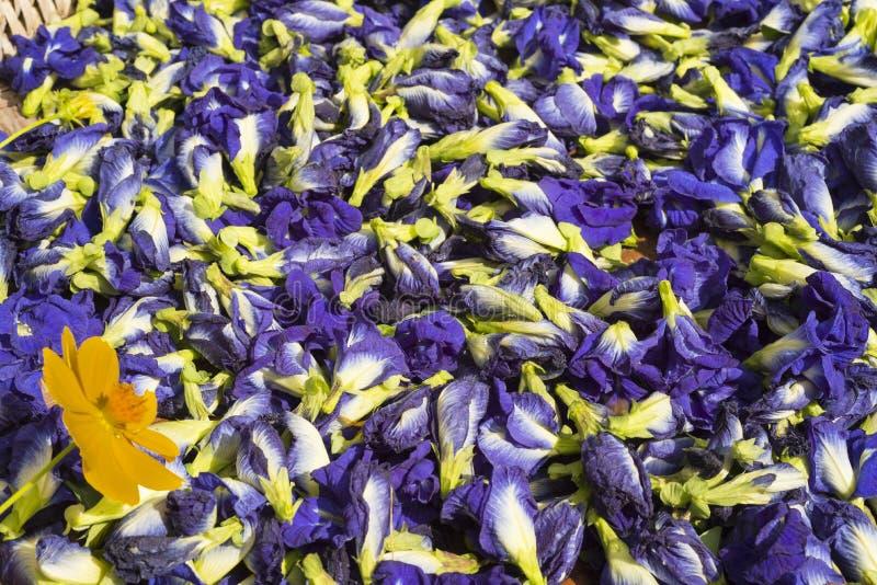 Guisantes azules de Anchang de la hierba de la medicina de Ayurvedic imagenes de archivo