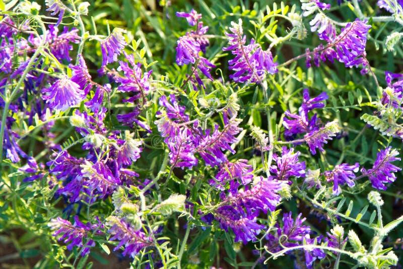 Guisantes del ratón de la hierba con las flores púrpuras en los rayos del sol poniente fotos de archivo libres de regalías
